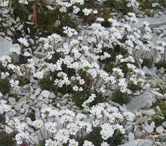 androsace carnea ssp brigantiaca north american rock garden society