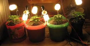 best light to grow pot the best lights to use to grow weed herban planet