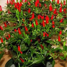 thai sun pepper capsicum annuum ornamental chili seeds