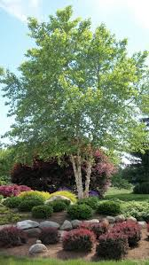 sweet bay laurel tree is a compact evergreen tree maybe
