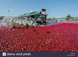 cranberry harvesting machine stock photo royalty free image