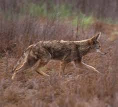 Coyote In My Backyard The Worst Coyote Attacks Outdoor Life