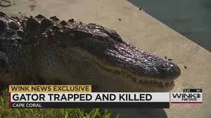 cora canap lifeless gator pulled from cape coral canal