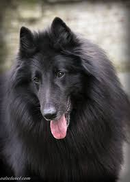 belgian sheepdog tattoo 543 best images about felines canines u0026 others on pinterest