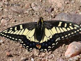 anise swallowtail colorado front range butterflies