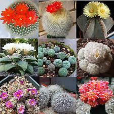 mixed succulent seeds lithops living stones plants cactus 30