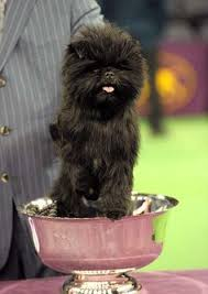 affenpinscher dog names westminster dog show handlers and dogs dogs animals and pets