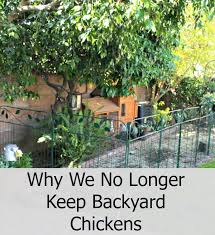 Chickens For Backyard Sunny Simple Life Why We No Longer Keep Backyard Chickens