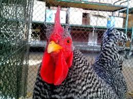 animali da cortile definizione foto gratis ornamentali animali da cortile insolito corsa