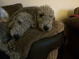 grooming a bedlington terrier puppy 10 best bedlingtons images on pinterest