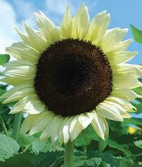 double dandy dwarf sunflower helianthus annus this variety grows