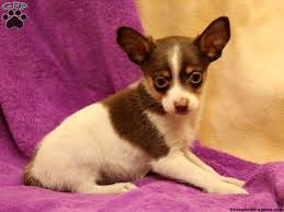 australian shepherd mixed with chihuahua toy australian shepherd mix puppies for sale greenfield puppies