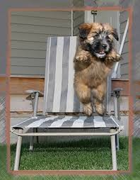 1171 best beautiful dogs soft coated wheaten terrier images on