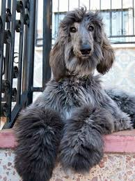 afghan hound stupid beautiful manny the domino afghan hounds pinterest afghan
