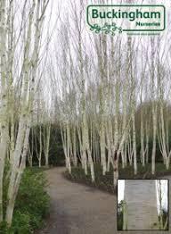 birch himalayan betula utilis jacquemontii doorenbos