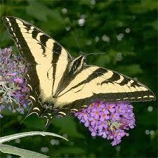 tiger swallowtail butterflies caterpillars chrysalis