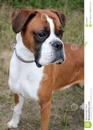 boxer dog howling boxer dogs lessons tes teach