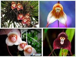 Monkey Orchids 100pcs 5 Kinds Cute Monkey Face Orchid Seeds Monkey Orchid Bonsai