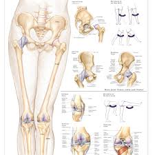 Knee Compartments Anatomy Anatomy Of Femur And Hip Choice Image Learn Human Anatomy Image