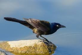 coping with grackles birdwatching