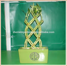 18 stems braided lucky bamboo bonsai tree dracaena sanderiana