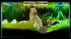 Aquascaping Freshwater Aquarium Java Moss How To Grow Carpets Walls Trees And More Aquascape