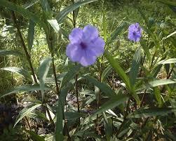 plants native to mexico ruellia brittonia tall mexican petunia