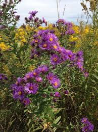 plants native to new england symphiotrichum novae angliae aster novae angliae new england