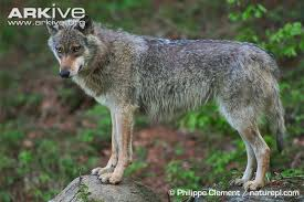 grey wolf photo canis lupus g57814 arkive