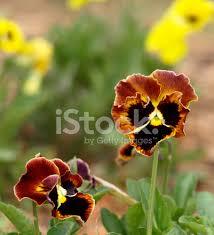 fiori viola delicati fiori viola pensiero fotografie stock freeimages