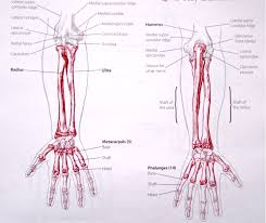 Human Anatomy And Physiology Notes Notes On Anatomy And Physiology The Elbow Forearm Complex The