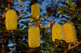 australian native plant free images tree nature leaf flower pollen evergreen