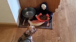 owner pranks dog with halloween candy bowl pet pranks youtube