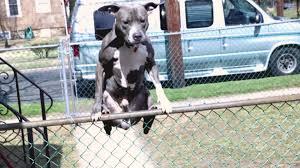 dog jumps humps fence youtube