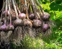 Vegetative Propagation By Roots - garlic plant structure garlic matters