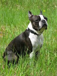 american pitbull terrier heat cycle bull terrier dog breed information idw
