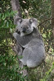 354 best koalas images on pinterest koala bears koalas and animals