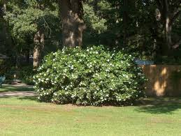 Fragrant Shade Plants - 64 best fl shade plants images on pinterest shade plants shade