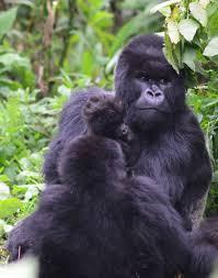 Gorilla by Call 4 Gorillas Zoo Atlanta