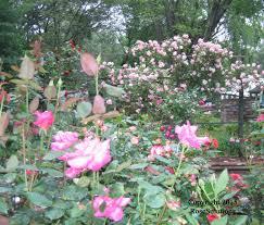 clair matin rose the rose journal