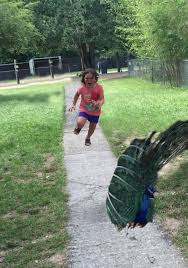 Girl Running Meme - girl running away from a peacock is so glorious she needed a