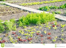 lettuce plants on a vegetable garden patch stock photo image