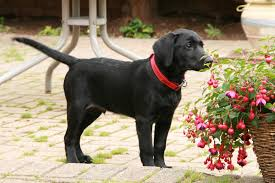 file black labrador puppy 2754841728 jpg wikimedia commons
