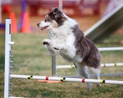 australian shepherd agility dogbreedz photo keywords performance dog training