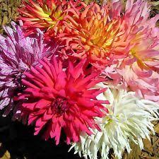 zinnia seeds ebay