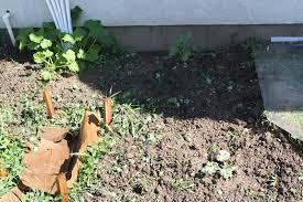 bean trellis and garden update garden adventures with amelia