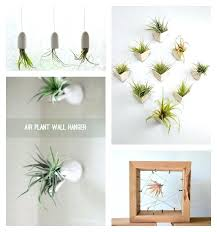 hanging air plant charming hanging air plant vases air plants succulents roundup