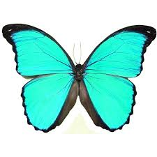 morpho m pucallpensis framed butterflies and insects