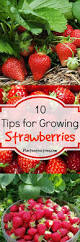 10 tips for growing strawberries plant instructions
