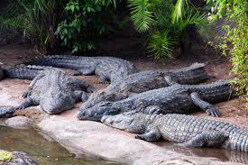 crocodiles alligators hunt in groups scientist says biology
